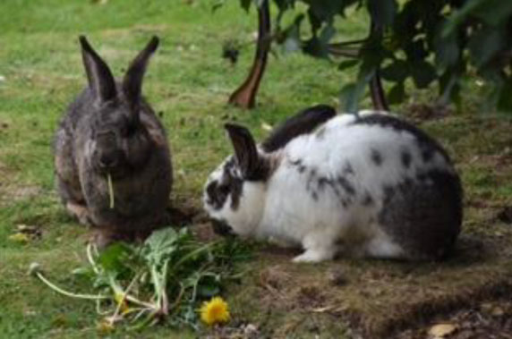 Two rabbits eating