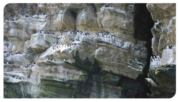 Common guillemots on Isle of Noss, Shetland