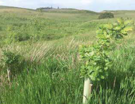 Oak saplings planted as part of woodland creation project at Shiplaw Burn near Eddleston.